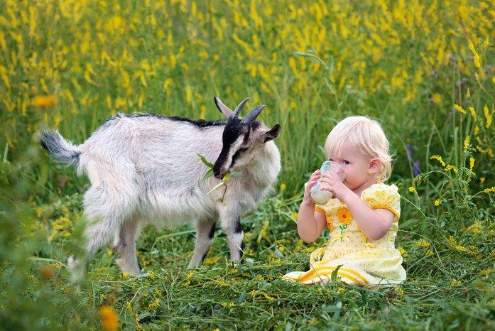О пользе козьего молока для младенцев