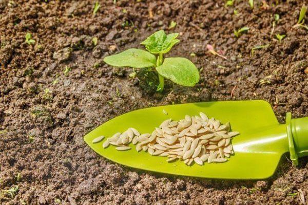 Когда сажать кабачки на рассаду: лунный календарь 2018