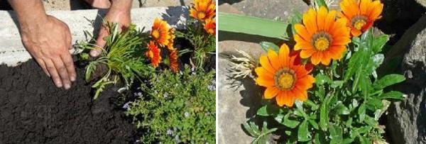 Гацания: выращивание из семян и уход