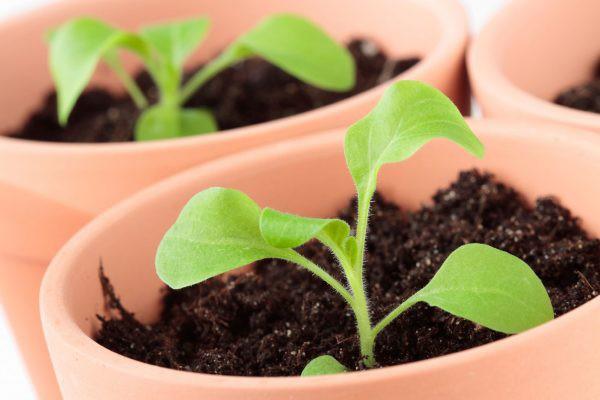 Петуния: как посадить на рассаду