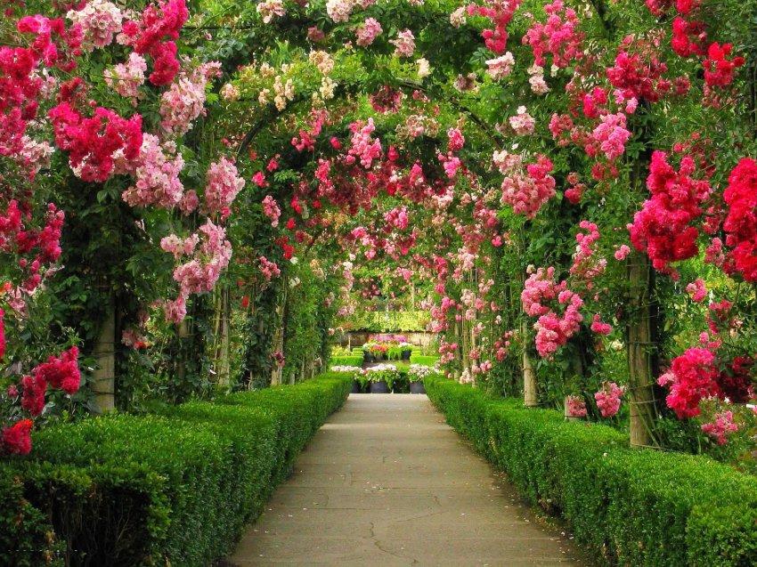 Уход за кустовой розой в горшке