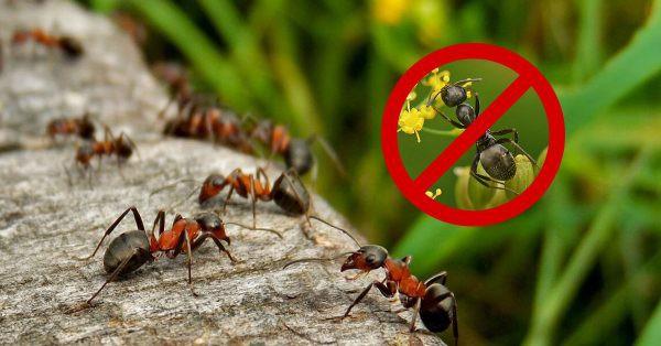 Как избавиться от муравьев народными средствам