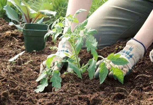 Подготовка грядок, посадка помидоров в открытый грунт и правила ухода за растениями
