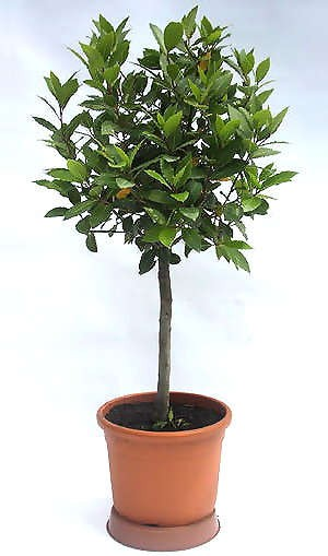 Уход за лавром в домашних условиях, размножение дерева (фото растения)