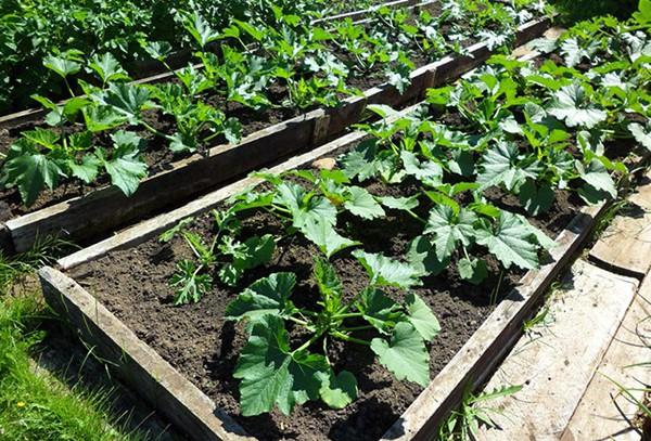 Кабачки: посадка и уход в открытом грунте, секреты высокой урожайности