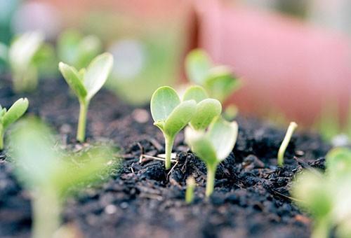Рассада арбуза в домашних условиях – от семян до высадки в грунт