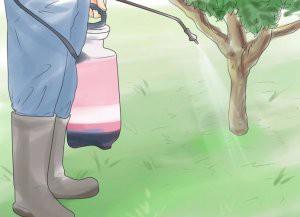 Выращивание миндаля: посадка и уход