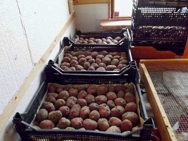 Обработка картофеля перед посадкой: инструкция