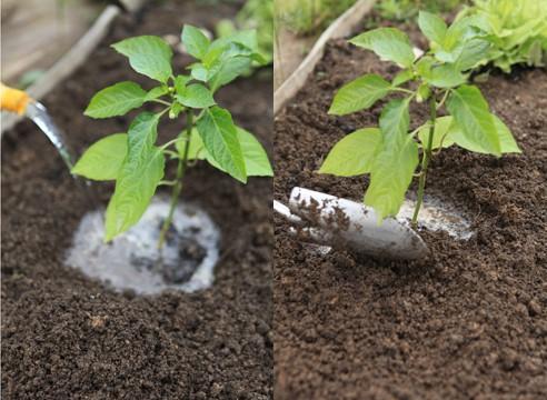 Как часто поливают перец – от рассады до плодов