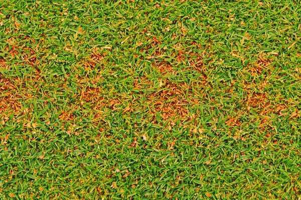 Обзор болезней и вредителей газона: как отстоять свою лужайку в неравном бою? Черный грибок на газоне