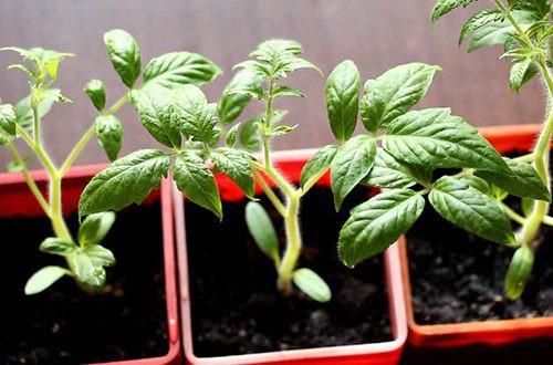Вредители рассады томатов и методы борьбы с ними
