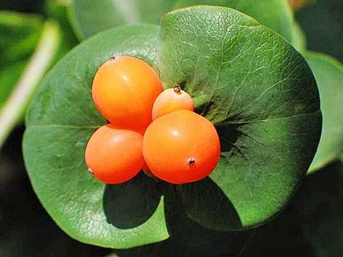 Жимолость каприфоль ароматная лиана: посадка, уход и размножение видео