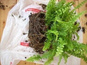 Правильная посадка и уход за садовым папоротником (фото растения)