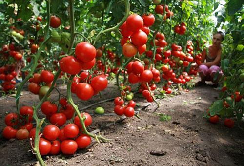 Подкормка рассады томатов и перца дрожжами: лучшие рецепты