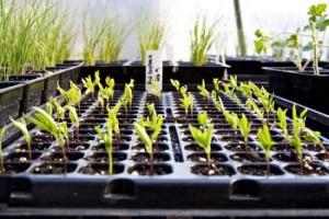 Выращивание сладкого перца в теплице: как получить хороший урожай