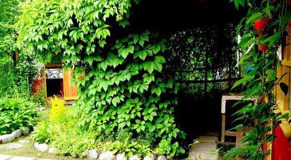 Многолетние лианы для сада, морозостойкие, тенелюбивые, красивые: фото и названия