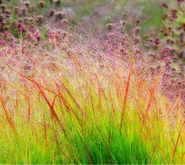 Злаки в ландшафтном дизайне сада и дачного участка: фото и названия лучших сортов злаковых культур