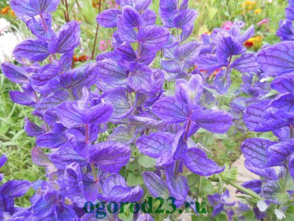 Однолетние цветы, цветущие все лето — название и фото