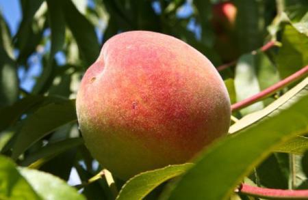 Персик: описание, фото, состав, калорийность фруктов
