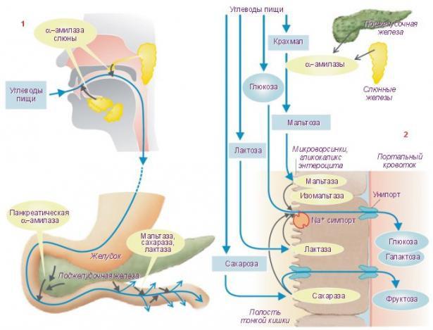 Кратко о процессе переваривания углеводов в организме человека