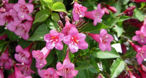 Цветы вейгела – посадка и уход в открытом грунте