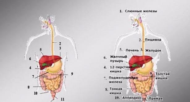 Органы пищеварения человека, строение пищеварительной системы