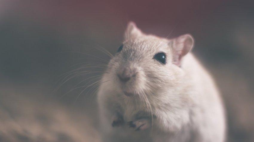 В Китае крысы начали заражать людей гепатитом