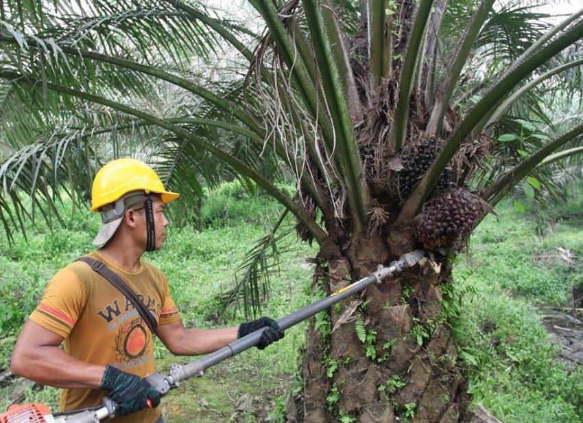 Пальмовое масло производят из нефти