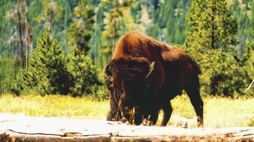 Инцидент в Йеллоустоуне: бизон покалечил пожилую женщину