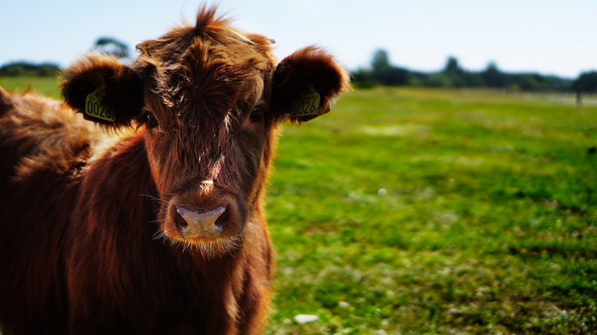 В США нашли труп коровы с вырезанными половыми органами