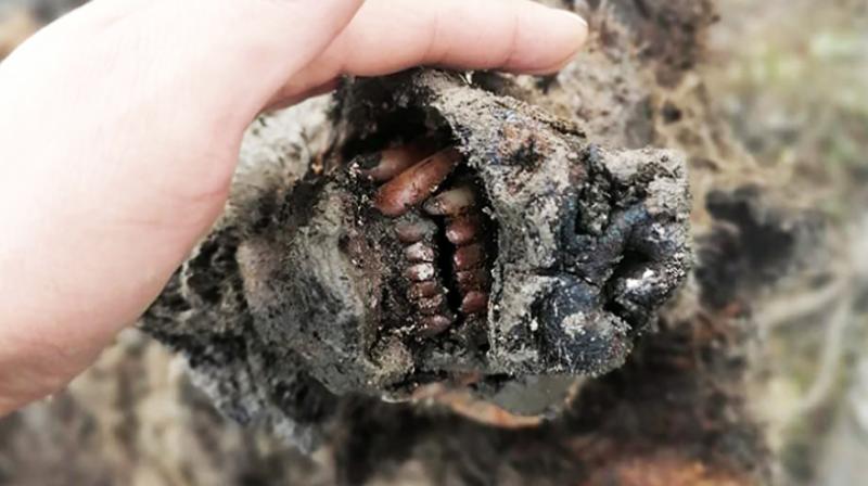 В якутской мерзлоте обнаружили останки медведя возрастом 39 тысяч лет