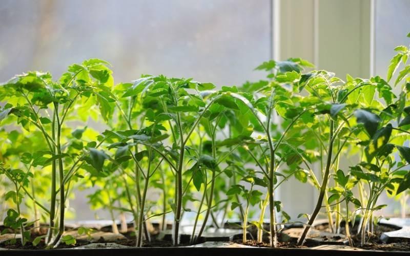 Благоприятные дни марта 2021 года для посадки помидор на рассаду и зависимость этого от климатических условий