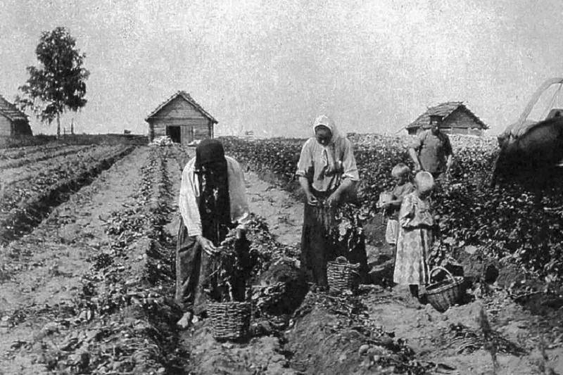 История картофеля: кто завез и распространил овощ в России