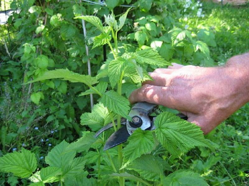 Как правильно обрезать малину после сбора урожая