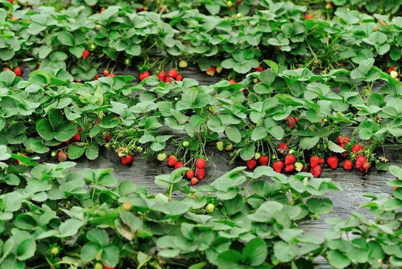 На какую глубину сажать клубнику летом, и какие удобрения вносить, чтобы получить хороший урожай